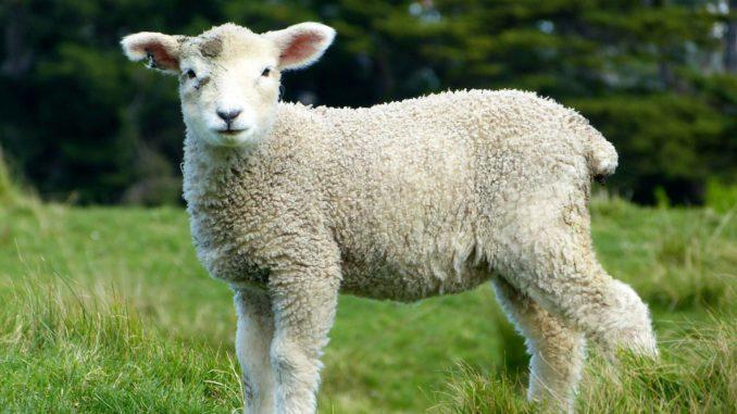 Onverdoofd slachten lam